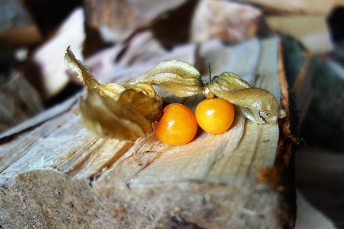Phsylis on wood logs